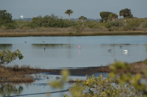Roseate Spoonbill in middle