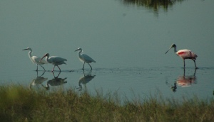 Roseate Spoonbill and egrets (?)