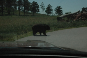 bear crossing!