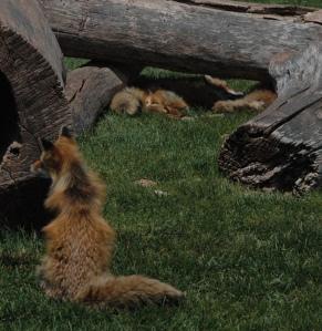 Mr. Red Fox