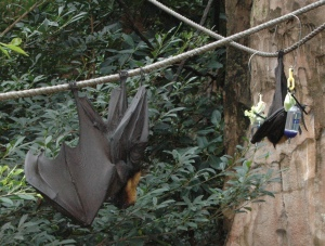 fruit bat on right